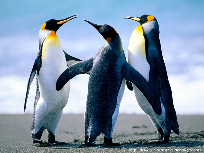 Penguins (700x525, 309Kb)