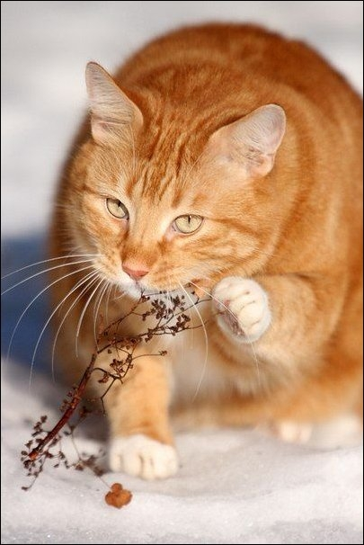 cat-chewing-grass-01 (455x656, 128Kb)