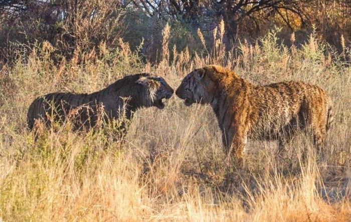 дикие тигры фото (700x444, 286Kb)