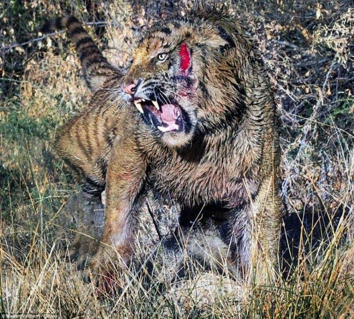 дикие тигры фото 2 (700x630, 418Kb)