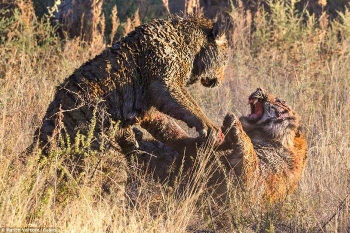 дикие тигры фото 4 (700x465, 291Kb)
