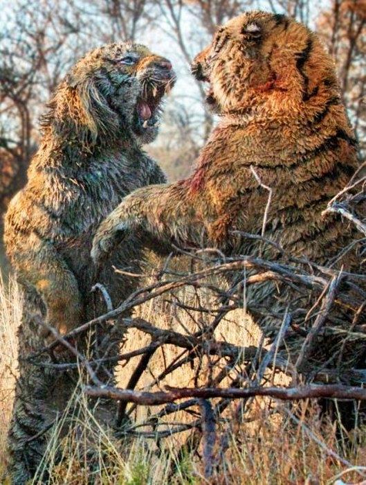 дикие тигры фото 6 (529x700, 302Kb)