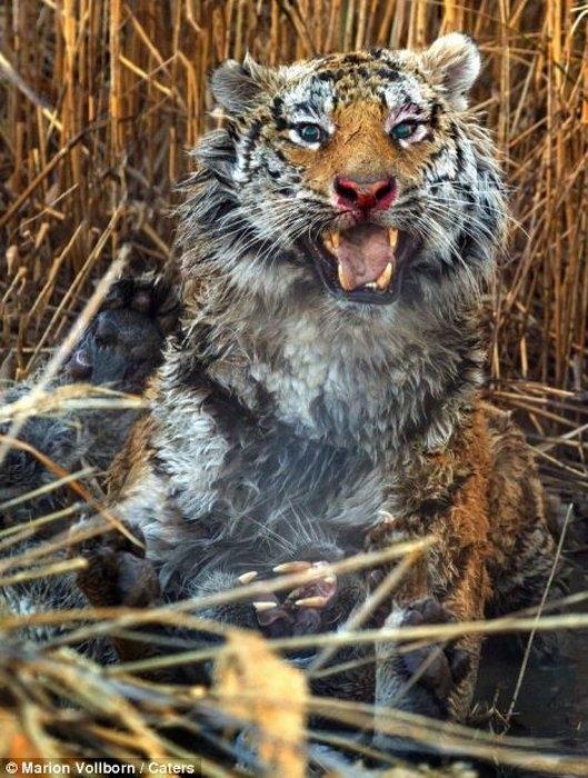 дикие тигры фото 8 (529x700, 264Kb)