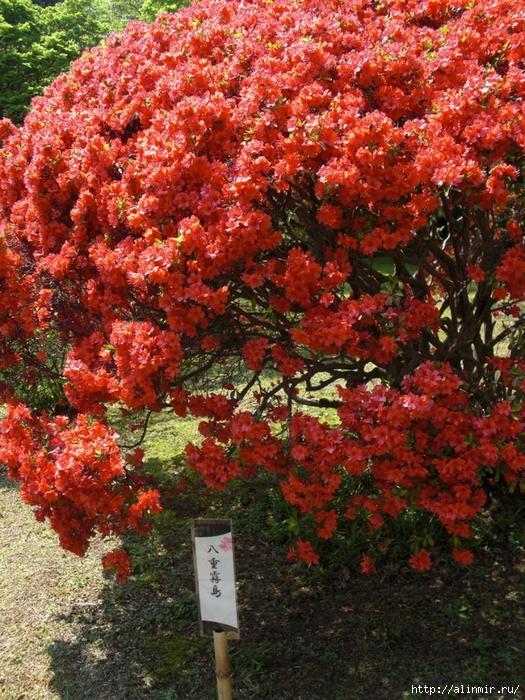 Сад Рикугиэн Rikugien garden (яп. 六義園 Рикугиэн) 21 (525x700, 436Kb)