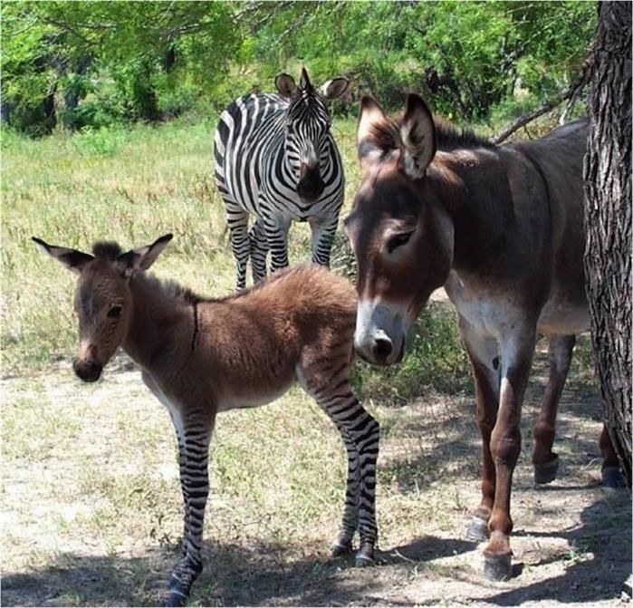 помесь осла и зебры фото 5 (700x671, 382Kb)
