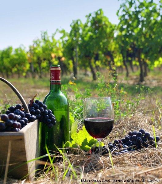1369310312_vinograd-i-vino (528x600, 216Kb)
