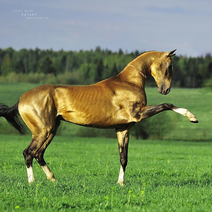 Прекрасная ахалтекинская лошадь