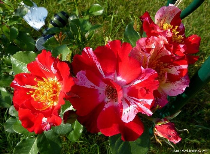 Роза плетистая Ханаби( Hanabi), Weeks Roses