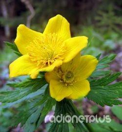 1 Горечавка желтая (1 января - 10 января) (250x271, 80Kb)
