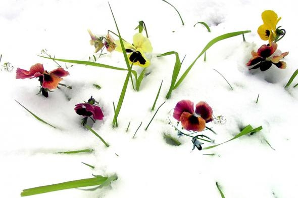 1354560373_cvety-pod-snegom-4 (590x391, 84Kb)