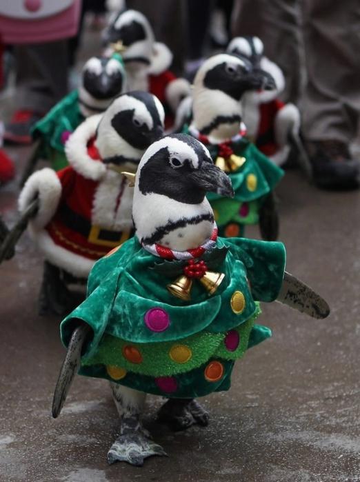 пингвины фото 4 (522x700, 226Kb)