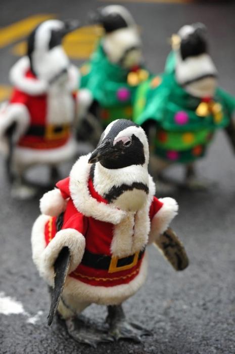 пингвины фото 8 (465x700, 169Kb)