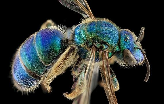 пчела фото 2 (570x363, 149Kb)