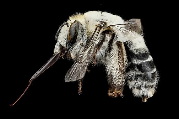 пчела фото 4 (570x380, 98Kb)