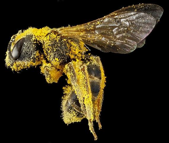 пчела фото 8 (570x480, 171Kb)