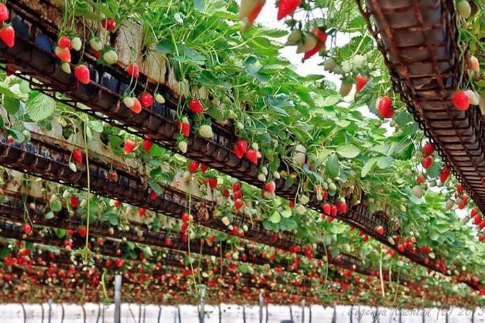 Как сохранить рассаду клубники в подвале 7