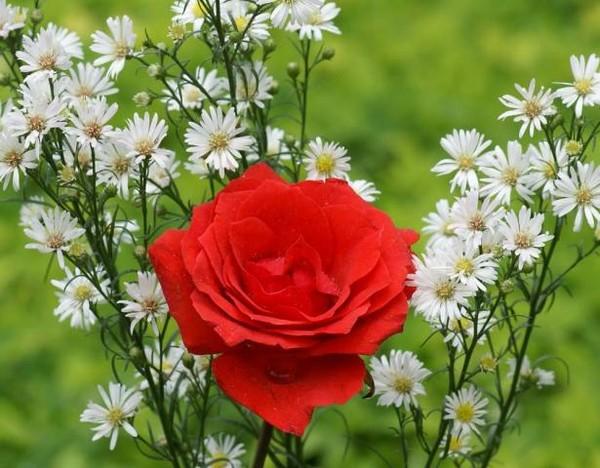 Роза ирис