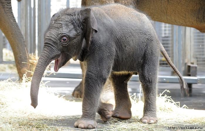 baby-elephant-1 (700x447, 274Kb)