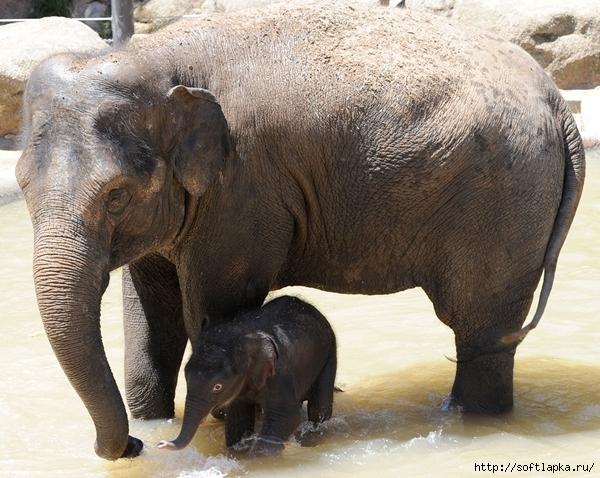 baby-elephant-6 (600x478, 261Kb)