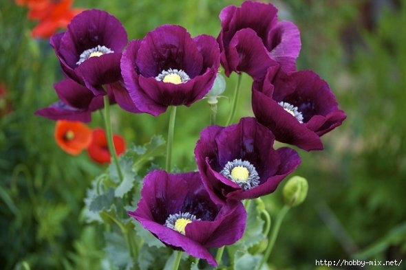 draft_lens8958291module156777193photo_1328394896opium_poppy7_ (590x393, 122Kb)