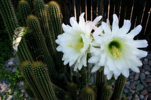 1372927259_kaktusy-5 (500x333, 42Kb)