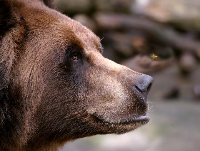 медведь фото (680x514, 314Kb)