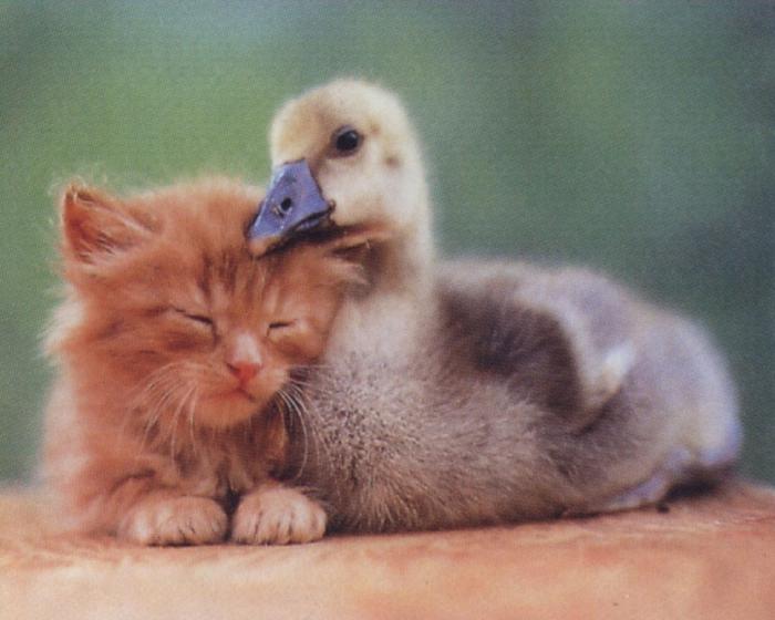 Кот и утки