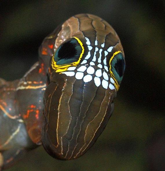 гусеница Phyllodes Imperialis фото 1 (570x589, 260Kb)