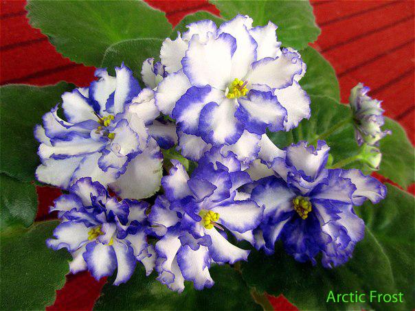 Arctic-Frost (604x453, 250Kb)
