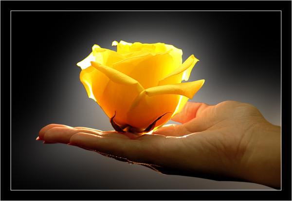 роза желт на ладони (600x413, 44Kb)