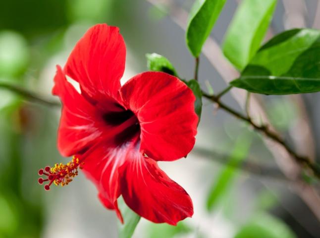 Цветок красный с желтым пестиком