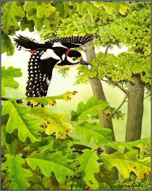 1384776731-pa_normanarlott_14_greatspottedwoodpecker (500x631, 544Kb)