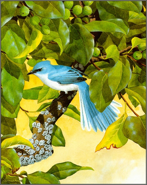 1384776737-pa_normanarlott_19_fairy-blueflycatcher (500x632, 491Kb)