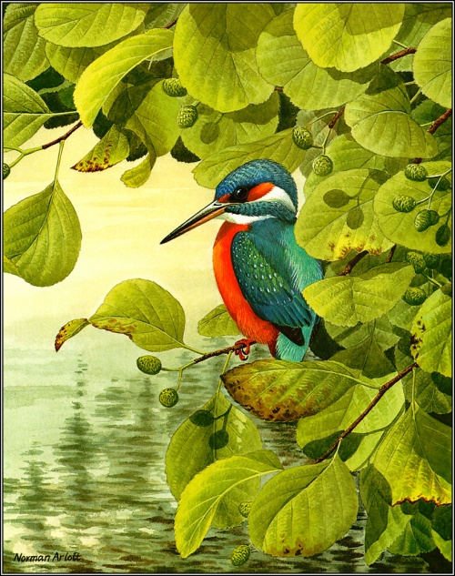 1384776738-pa_normanarlott_11_kingfisher (500x633, 483Kb)