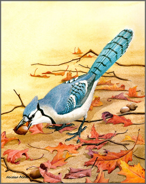 1384776739-pa_normanarlott_28_bluejay (500x629, 449Kb)