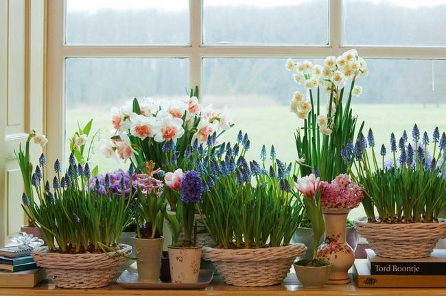 Луковичные цветы в интерьере. Подборка красивых фотографий (21) (650x432, 336Kb)