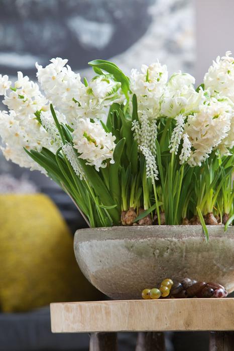 Луковичные цветы в интерьере. Подборка красивых фотографий (32) (466x700, 337Kb)