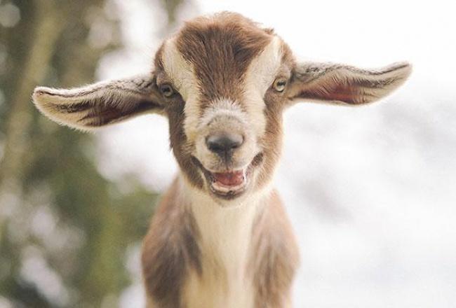 4745805-R3L8T8D-650-cute-smiling-animals-4 (650x440, 164Kb)