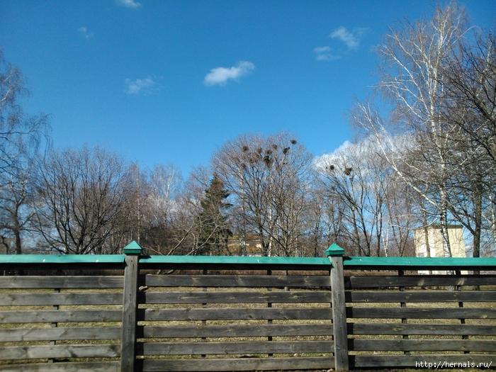 гнезда ворон на дереве/4555640_DSC_0143 (700x525, 369Kb)