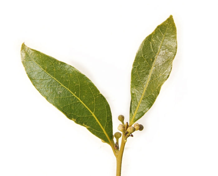 3862295_Bay_leaf_pair443 (700x566, 171Kb)
