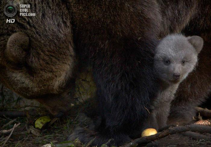 бурые медведи фото 7 (700x488, 425Kb)
