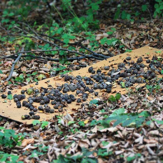 Маньчжурсткие орехи, приготовленные на разгрызание белкой. Владивосток, сентябрь 2015 г. Фото Валерия Камбалина./1354714_Belka_stryjki_3 (640x640, 156Kb)