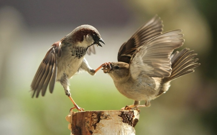 3953510-880-1447415853sparrow-couple-fighting-bird-3840x2400 (700x437, 76Kb)
