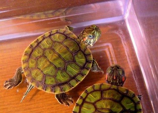 Как держат черепаха домашний условиях
