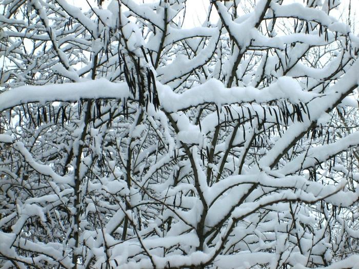 Акация в снегу (700x525, 373Kb)
