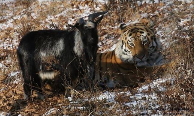 тигр_козел (646x387, 75Kb)