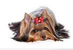 Превью 14894134-yorkshire-terrier-chien-sur-fond-blanc (700x484, 185Kb)