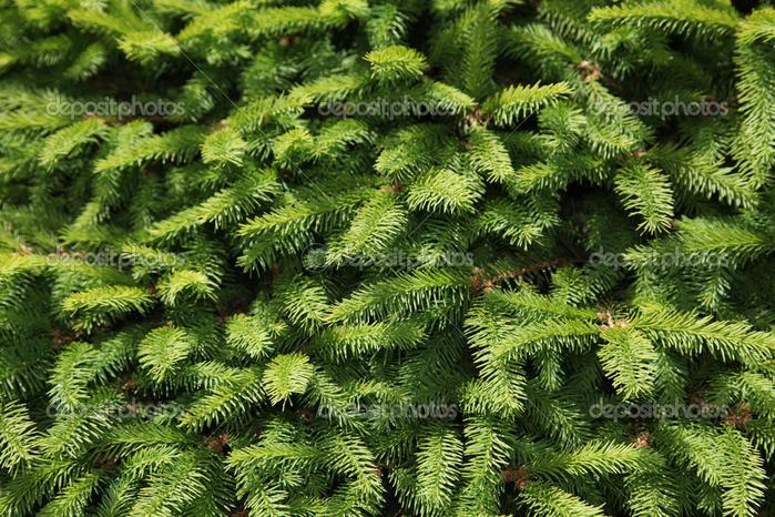 depositphotos_8179865-Pine-tree (700x466, 601Kb)