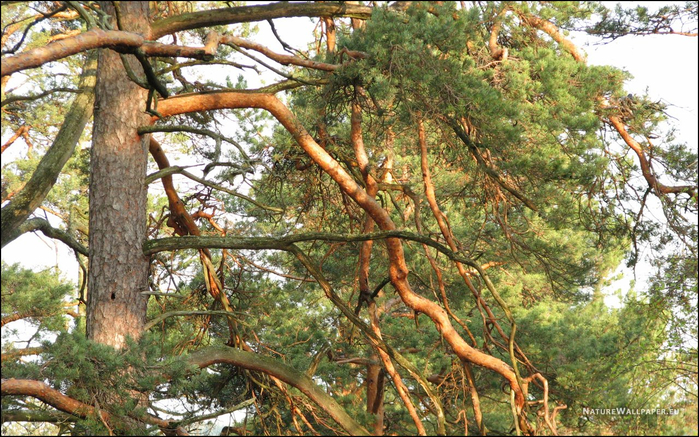 pine-tree-branches-1280x800 (700x437, 497Kb)