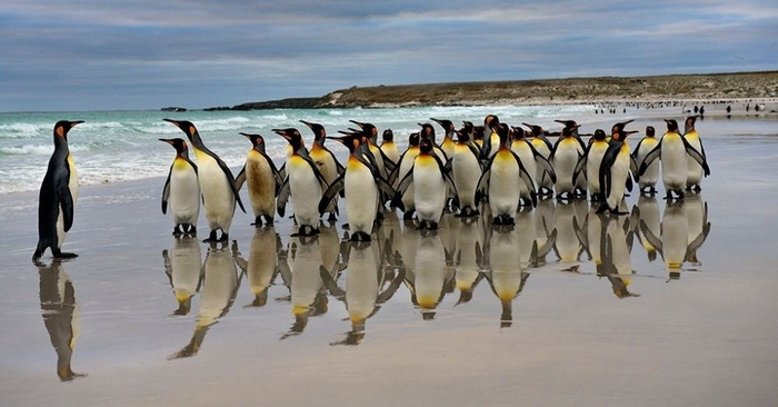 Penguins03 (700x366, 176Kb)